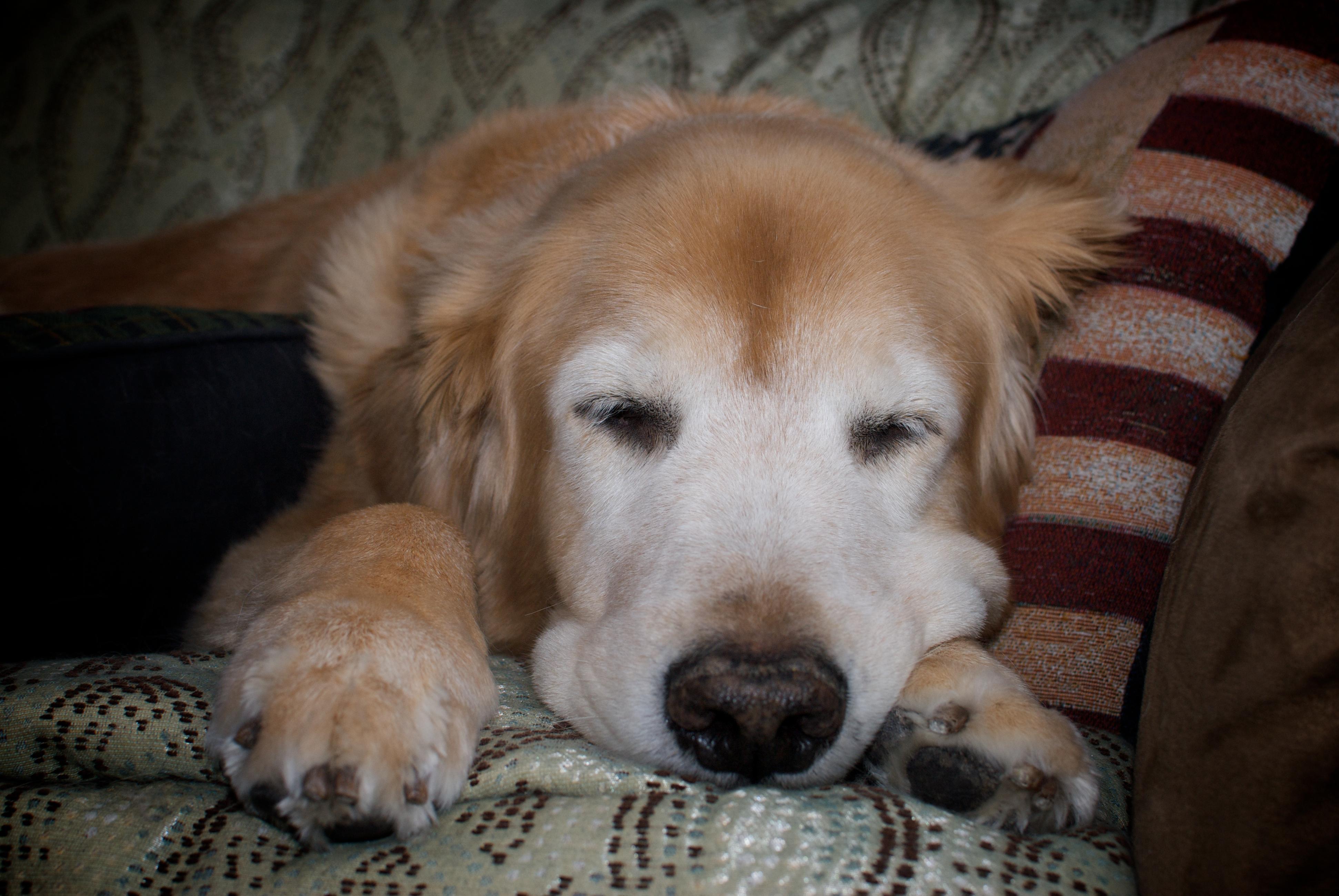 ゴールデン、高齢犬.jpg