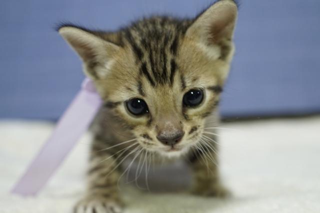 ベンガル子猫.jpg