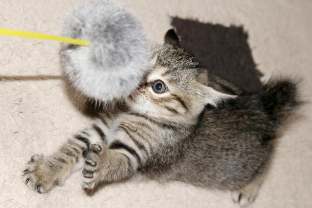 元気な子猫.jpg