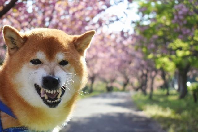 怒った柴犬.jpg