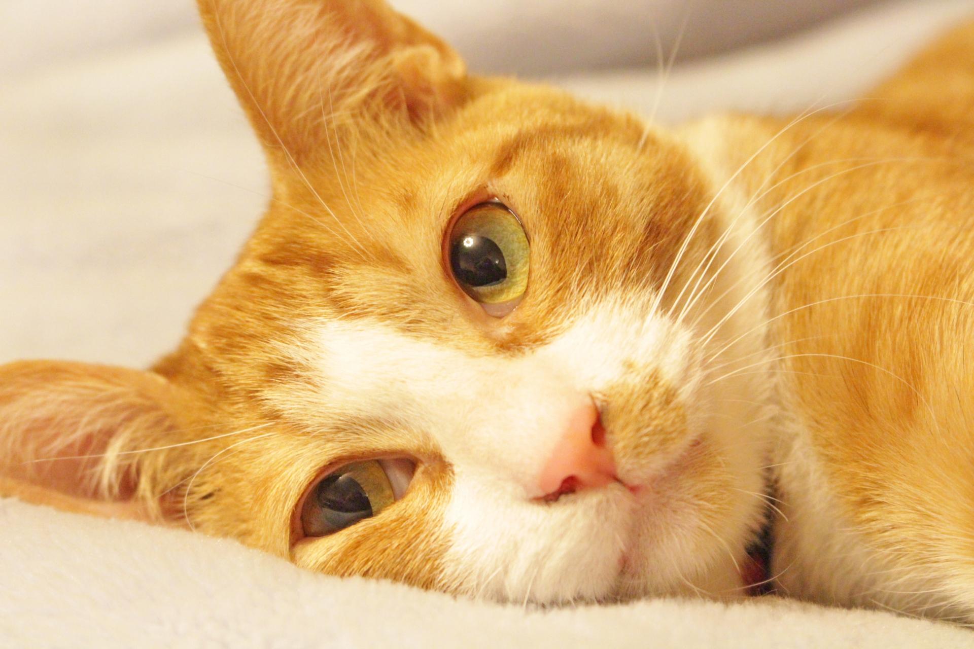 茶トラ猫 顔アップ フリー素材写真.jpg